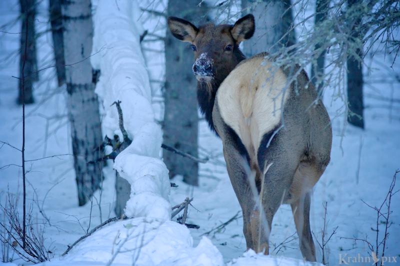 _MG_7208, elk, winter, snow, Saskatchewan