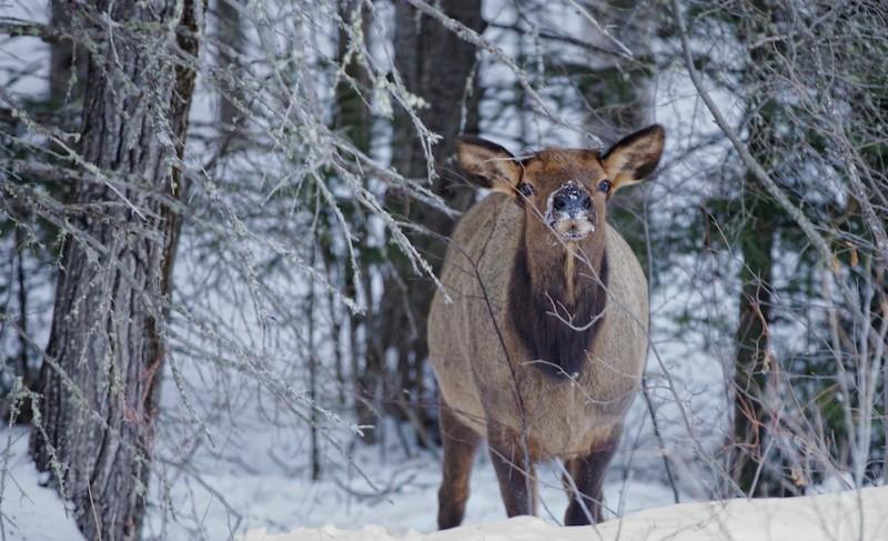elk, Saskatchewan, winter, nose