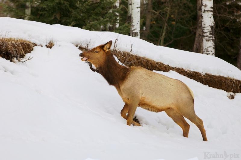 elk, snow, winter, walking, tongue