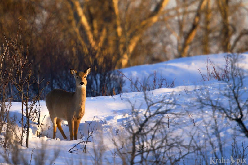 _T6C2622, deer, white tailed deer, Saskatchewan, snow, winter