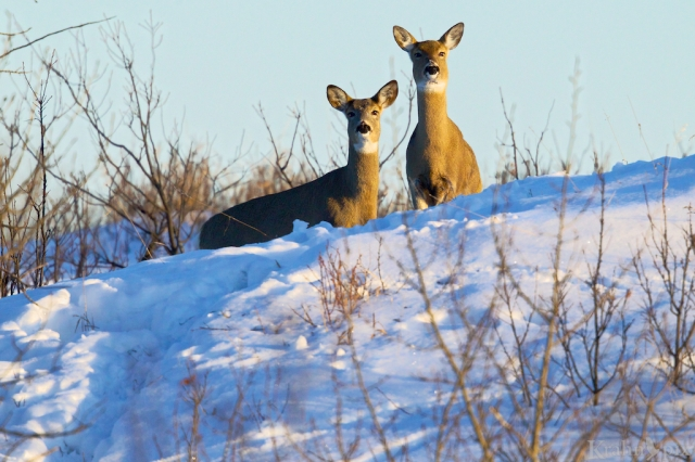 _T6C2646 (1), deer, white tailed deer, Saskatchewan, snow, winter