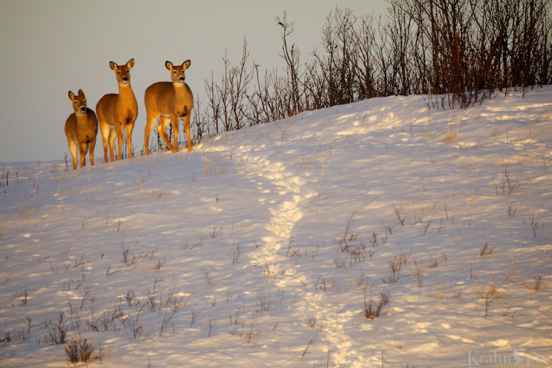 _T6C2655 (1), deer, white tailed deer, Saskatchewan, snow, winter