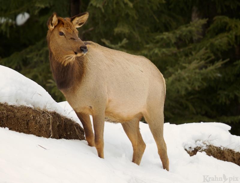 elk, winter, snow, Saskatchewan