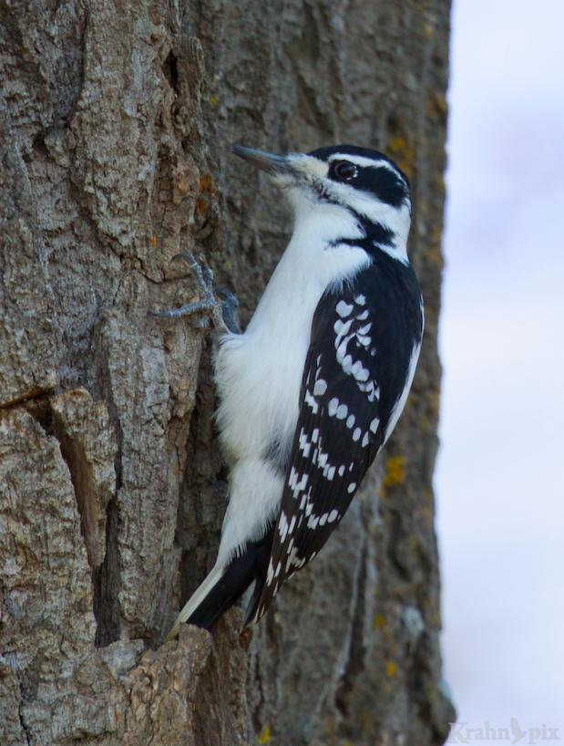 _T6C0755, woodpecker, Downy Woodpecker, tree