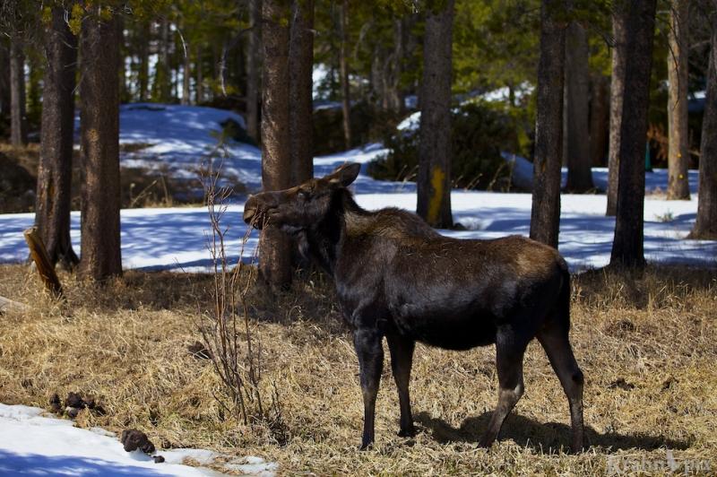 _MG_7700, moose, trees