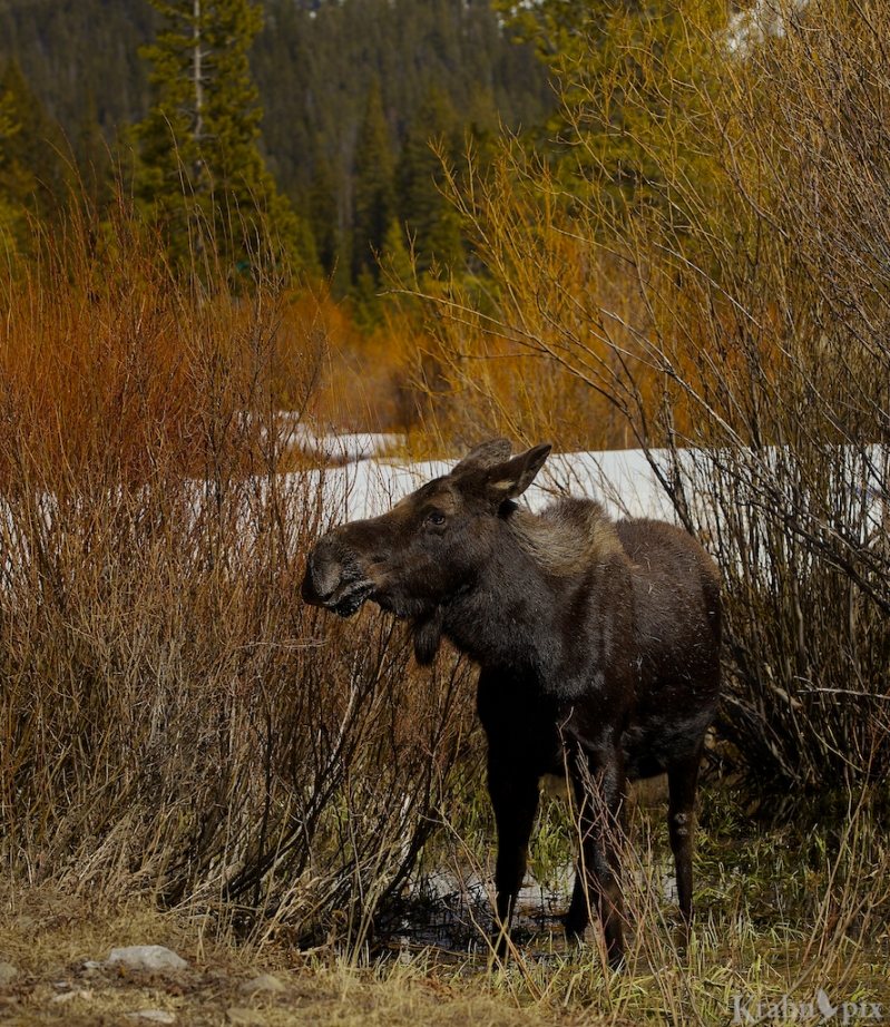 _MG_7765 (2), moose, willows