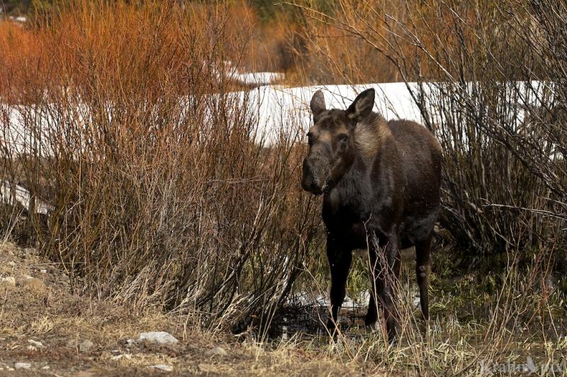 _MG_7770, moose, willows