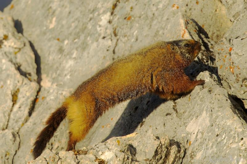 _T6C4501, marmot
