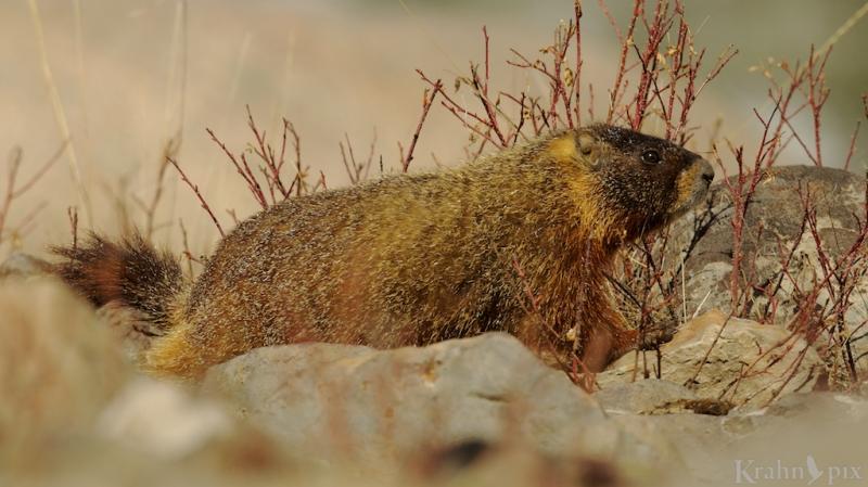 _T6C5150, marmot
