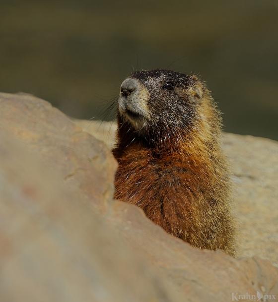_T6C5162m marmot