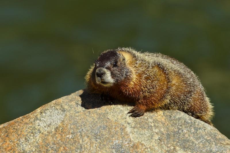 _T6C5202, marmot