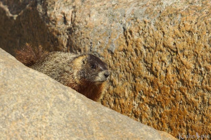 _T6C5214, marmot