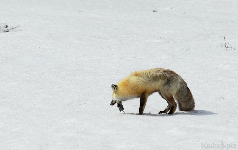_T6C6609, fox