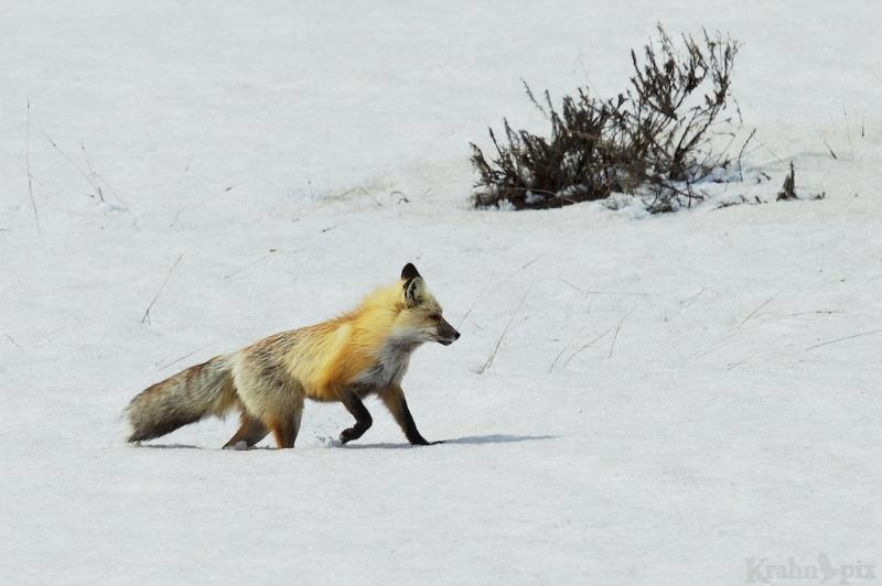_T6C6694, fox