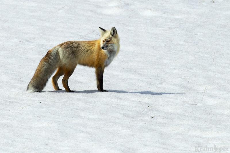 _T6C6971, fox
