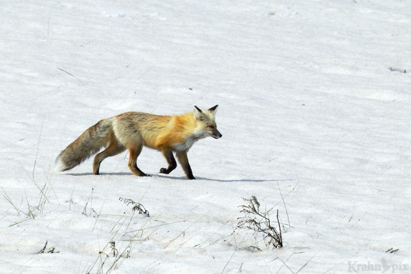 _T6C6983, fox
