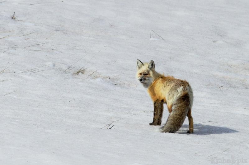 _T6C7032, fox