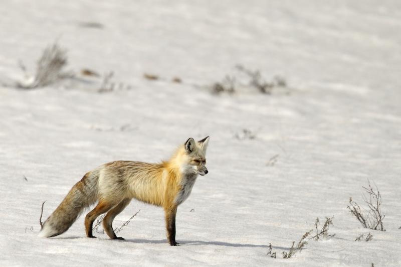 _T6C7282, fox