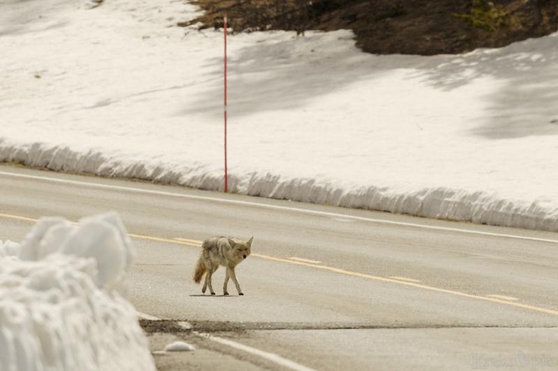 _T6C7476, coyote