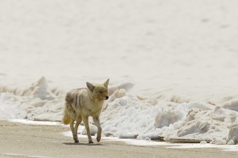 _T6C7493, coyote