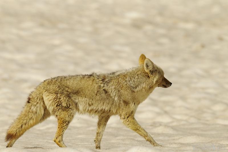 _T6C7508, coyote
