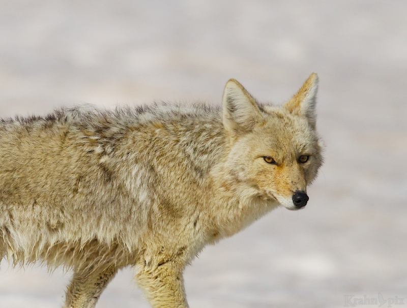 _T6C7513, coyote