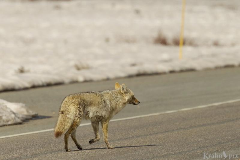 _T6C7519, coyote