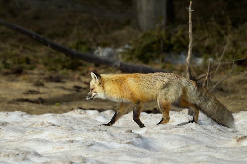 _T6C7574, fox