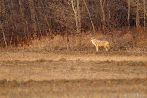 _T6C8136, coyote