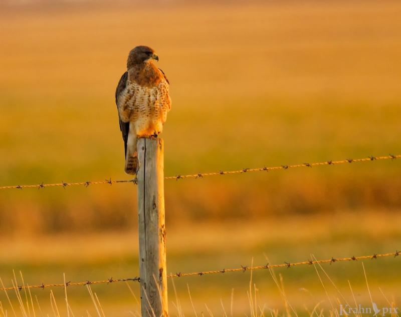 _T6C8359, hawk, Saskatchewan