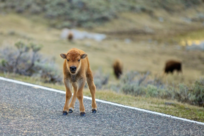 _MG_8086, bison, buffalo, calf, road
