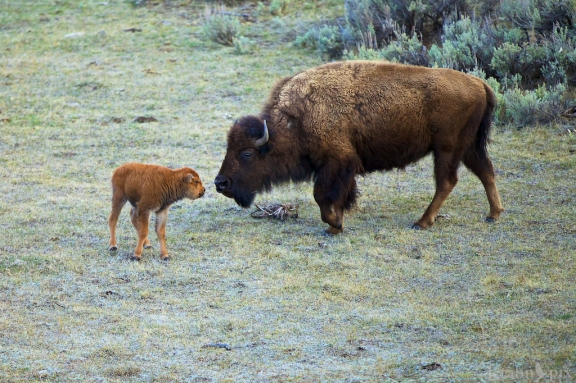 _MG_8092, bison, buffalo, calf