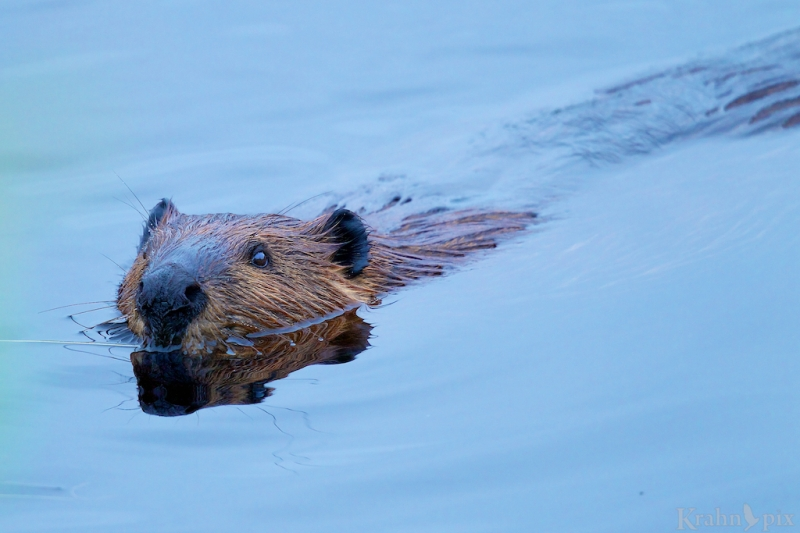 _T6C1172 (2), beaver swimming