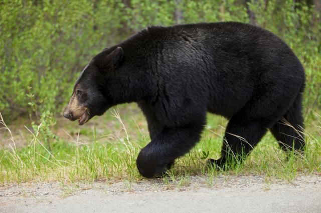 _MG_0033, black bear, Banff, walk