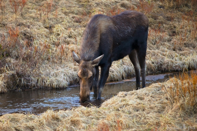 _MG_8618, moose, creek