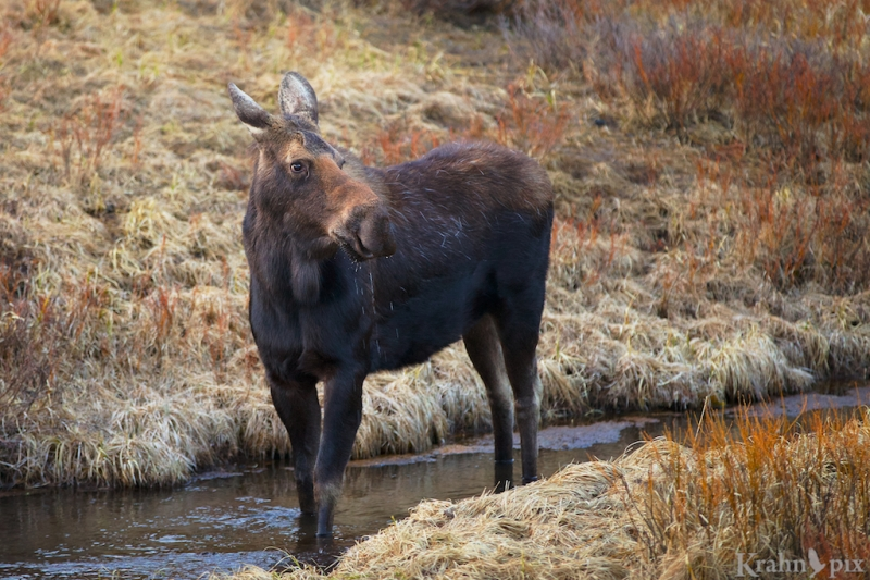 _MG_8637, moose, creek