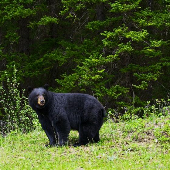 _MG_9570 (1), bear, black bear, trees