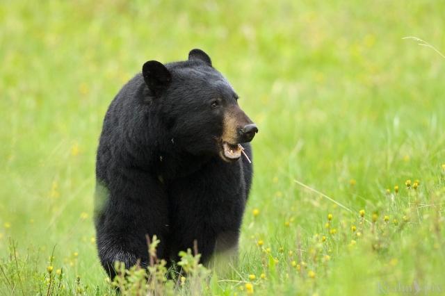 _T6C0142, bear, black bear, dandelions, Banff