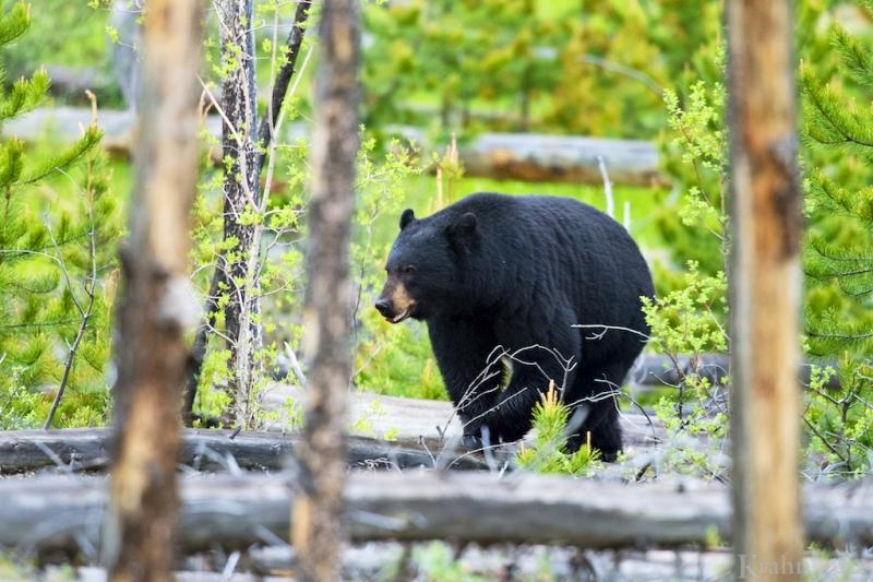 _T6C0160, black bear walking, trees, bear