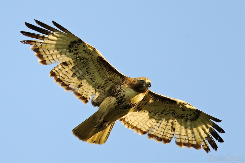 _T6C1565, hawk, flight