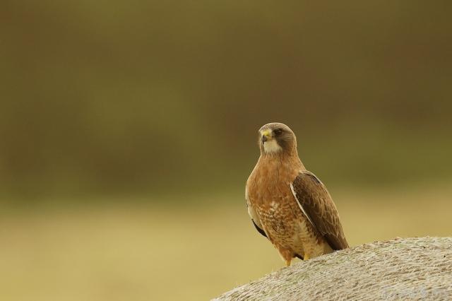 _T6C1877, hawk, Swainson's Hawk, Saskatchewan, bale