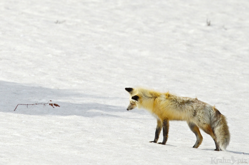 _T6C7156, fox, hunting, snow