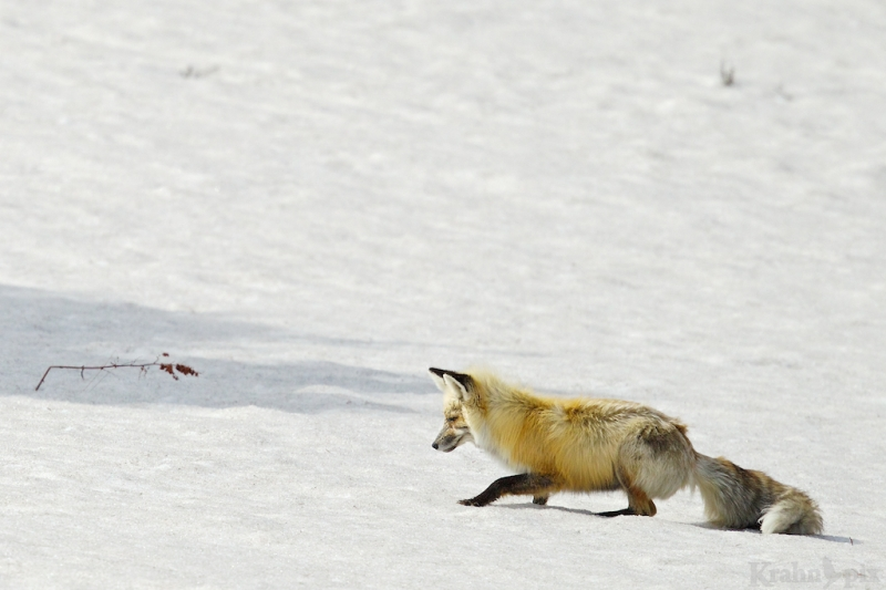 _T6C7161, fox, hunting, snow, crouch