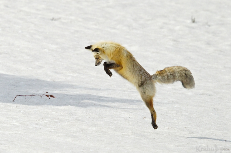 _T6C7162, fox, hunting, snow, jump