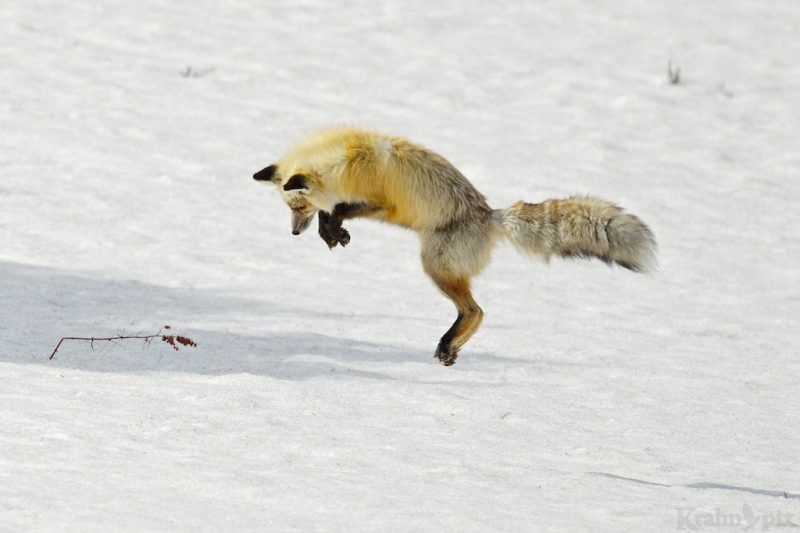 _T6C7163, fox, hunting, snow