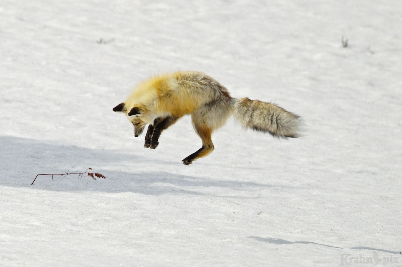 _T6C7164, fox, hunting, snow