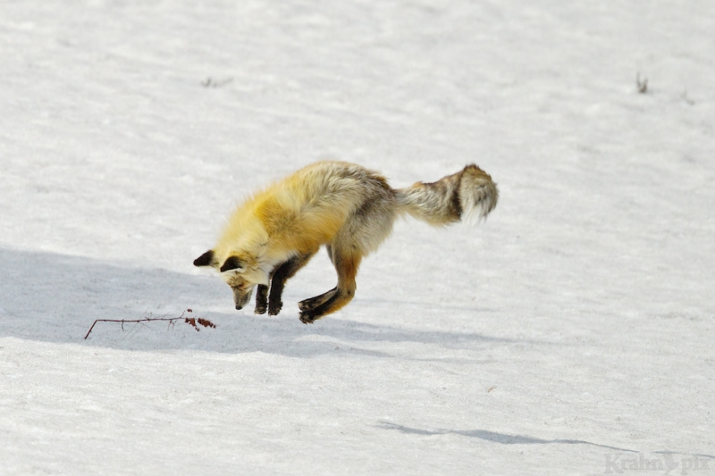 _T6C7165, fox, hunting, snow