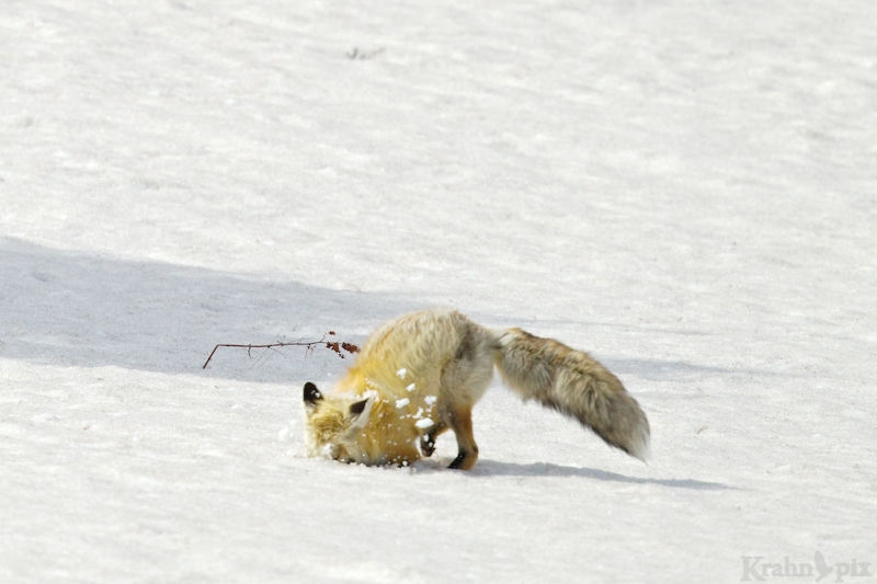 _T6C7168, fox, hunting, snow