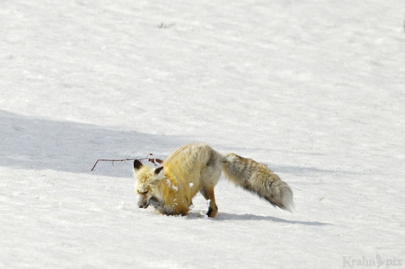 _T6C7169, fox, hunting, snow