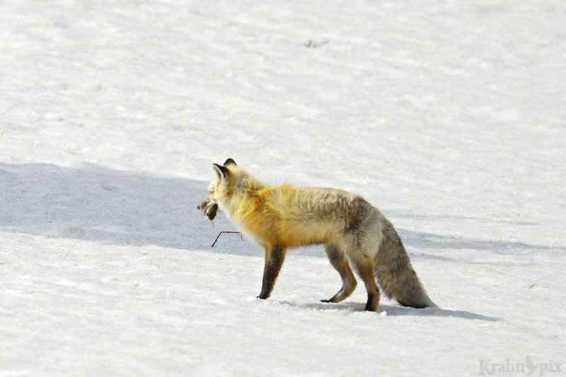 _T6C7171, fox, hunting, snow
